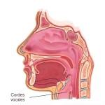 cordes vocales